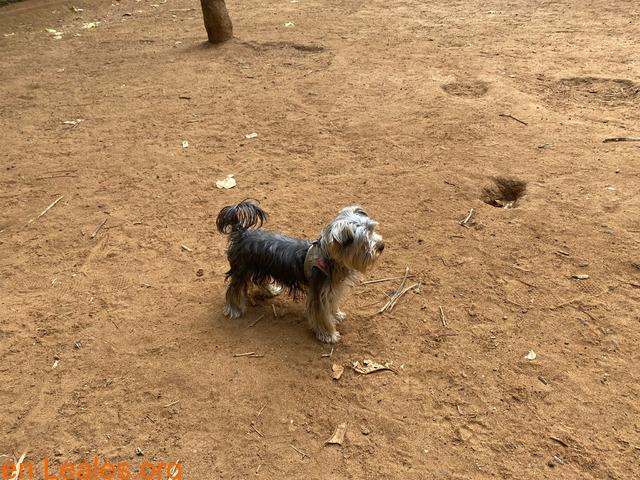 Teebo, Yorkshire Terrier García Sanabria
