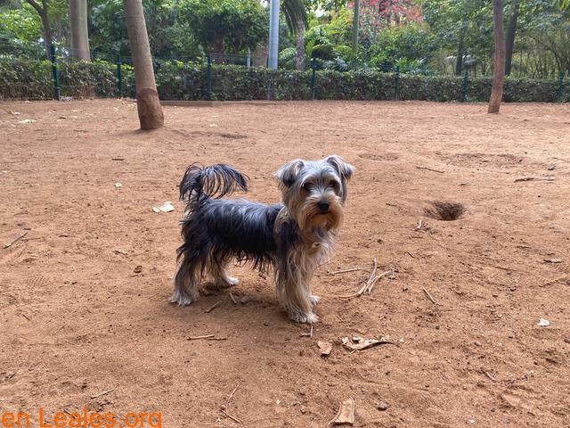 Teebo, Yorkshire Terrier García Sanabria - 2
