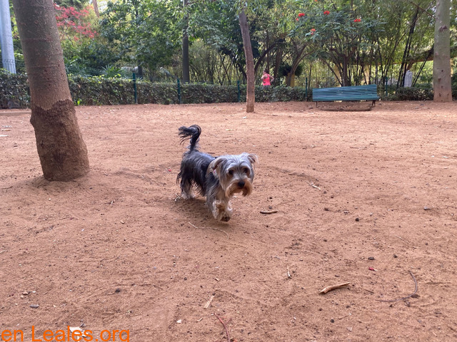 Teebo, Yorkshire Terrier García Sanabria - 4