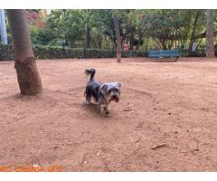 Teebo, Yorkshire Terrier García Sanabria - Imagen 4