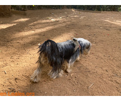 Teebo, Yorkshire Terrier García Sanabria - Imagen 5