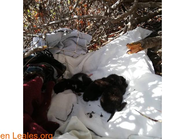 Bebés de gatos 1 o 2 meses en adopción