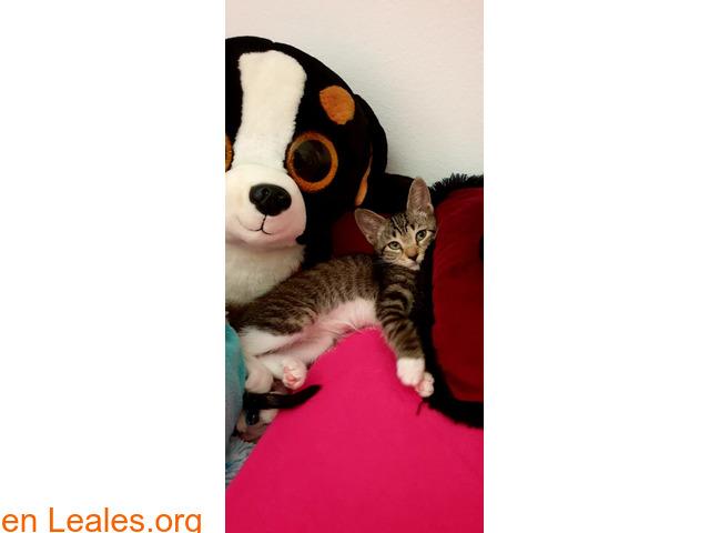 Gatita en adopción 676037416