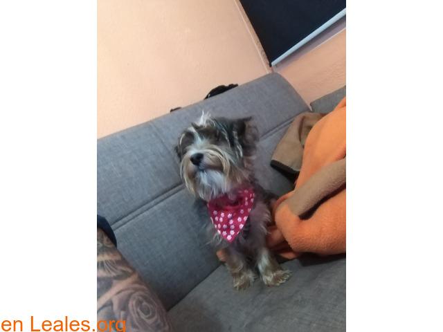 Perdido perrito macho 1 año