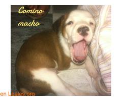 Comino - Imagen 3