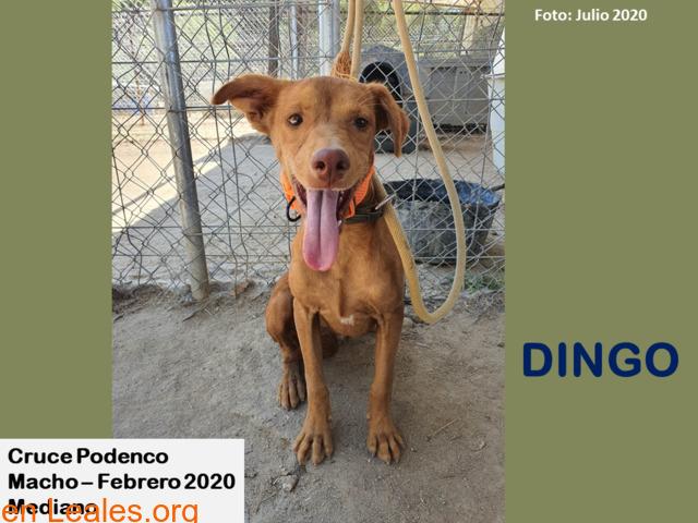 DINGO - 1