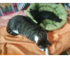 Se da en adopción a este lindo gatito - Imagen 1