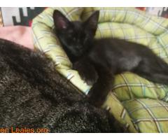 Se da en adopción a este lindo gatito - Imagen 2