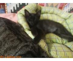Se da en adopción a este lindo gatito - Imagen 3