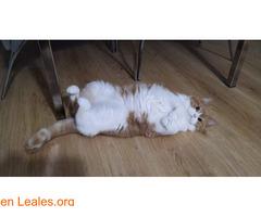 Gato macho en adopción - Imagen 3