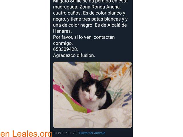 Gato negro y blanco pequeño de 3 mese