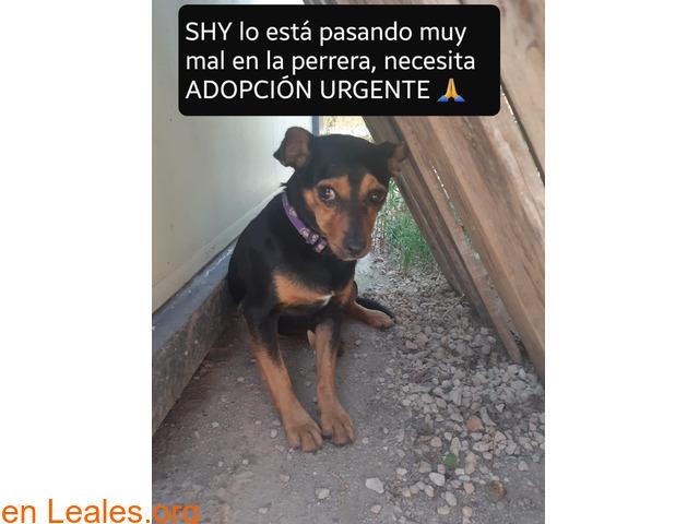 Shy en adopción urgente. - 1