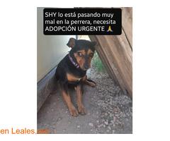 Shy en adopción urgente. - Imagen 1