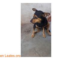 Shy en adopción urgente. - Imagen 2