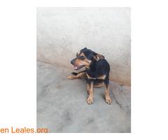 Shy en adopción urgente. - Imagen 4