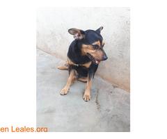 Shy en adopción urgente. - Imagen 5