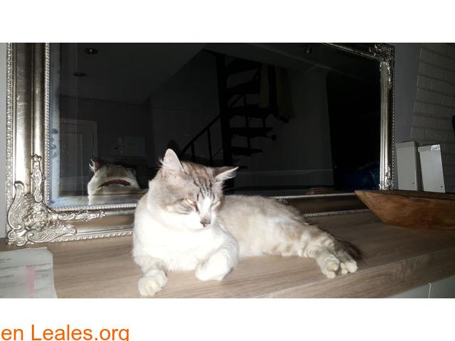 Se ha perdido gato macho sin collar ni c