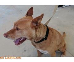 Preciosa mestiza pitbull/podenca - Imagen 1