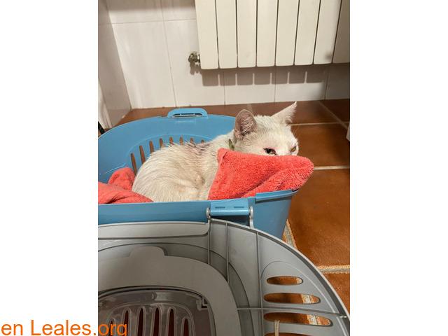 Gato blanco encontrado en Toledo - 1