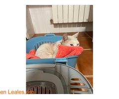Gato blanco encontrado en Toledo - Imagen 1