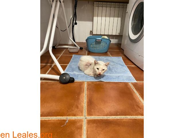 Gato blanco encontrado en Toledo - 2