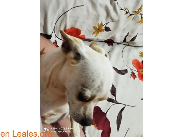 perro chiguagua encontrado - 1
