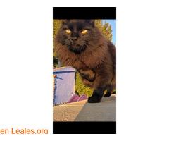 He perdido a mi gato por favor ayuda - Imagen 1