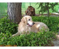 Jugueton Golden Retriever en adopción. - Imagen 1