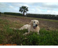 Jugueton Golden Retriever en adopción. - Imagen 3