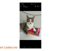 Perdido gato macho Atalaya de Santa Brig - Imagen 1