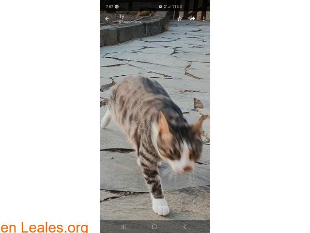 Perdido gato macho Atalaya de Santa Brig - 2