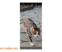 Perdido gato macho Atalaya de Santa Brig - Imagen 2
