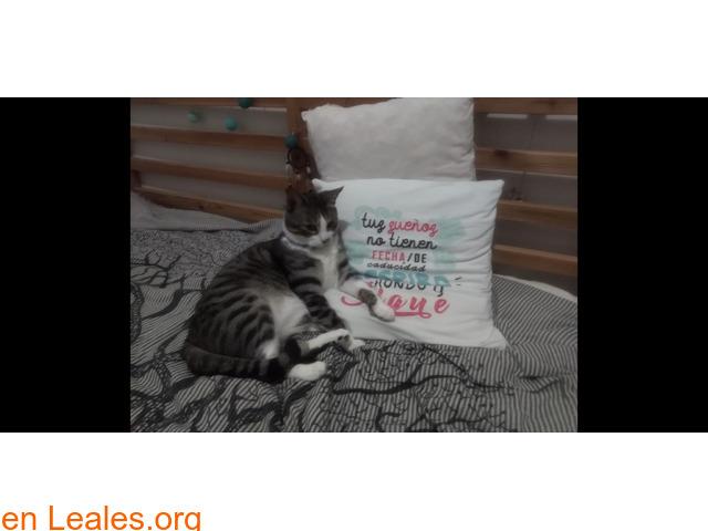 Perdido gato macho Atalaya de Santa Brig - 3