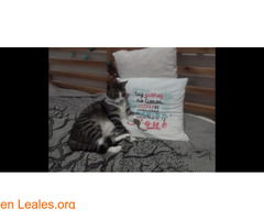 Perdido gato macho Atalaya de Santa Brig - Imagen 3