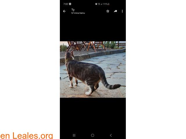 Perdido gato macho Atalaya de Santa Brig - 4