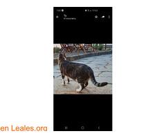Perdido gato macho Atalaya de Santa Brig - Imagen 4