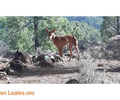 Podenco Llanos de la Pez - Imagen 2