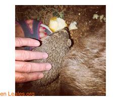 Dar de comer a los erizos