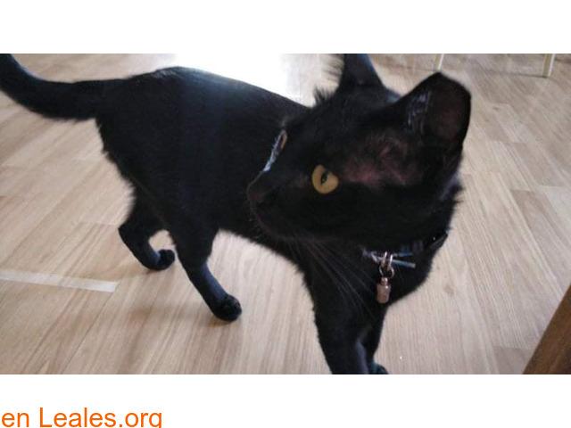 Lucero, gato negro muy cariñoso