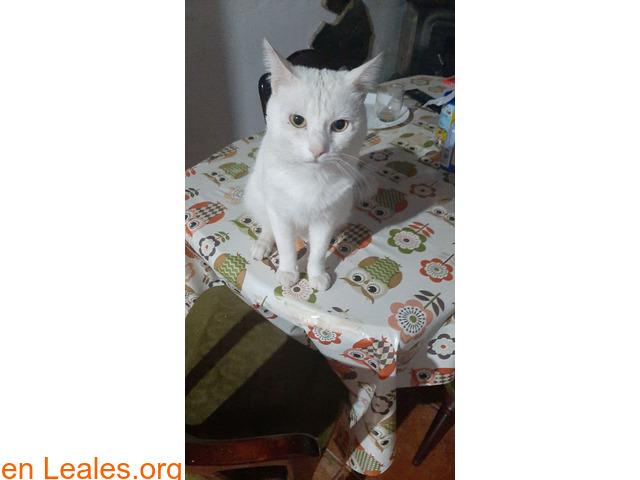 Gato blanco sin castrar y sordo