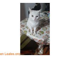 Gato blanco sin castrar y sordo - Imagen 1