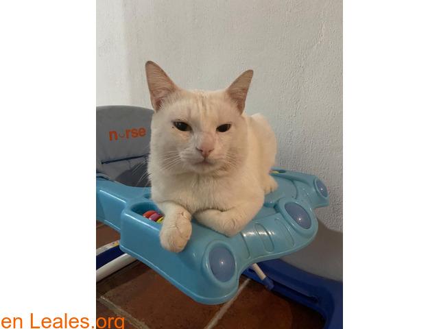 Gato blanco sin castrar y sordo - 2