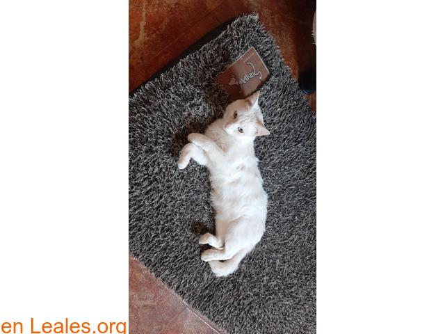 Gato blanco sin castrar y sordo - 3