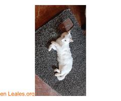 Gato blanco sin castrar y sordo - Imagen 3