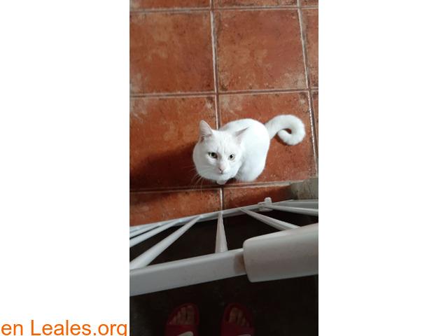 Gato blanco sin castrar y sordo - 4