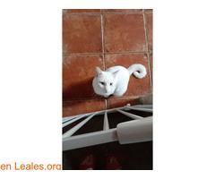 Gato blanco sin castrar y sordo - Imagen 4