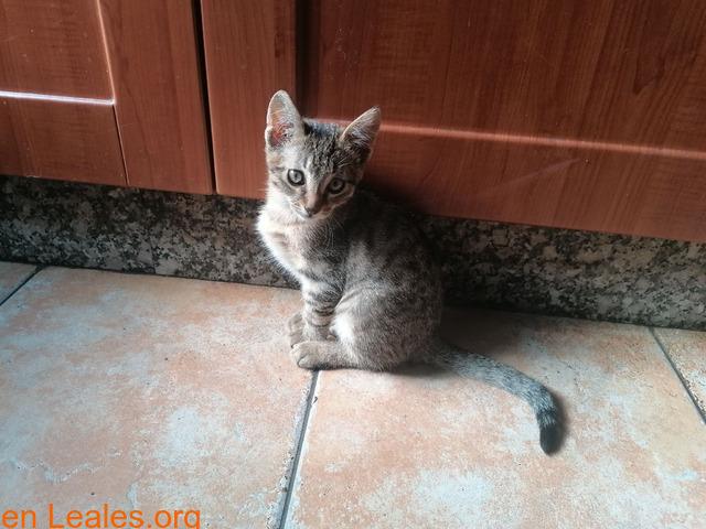 Gatito macho pardo