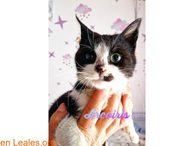 Arcoiris gatito mimoso busca hogar