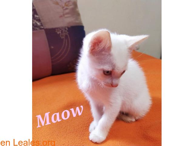 Maow divertida gatita en busca de hogar. - 1