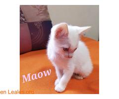 Maow divertida gatita en busca de hogar. - Imagen 1